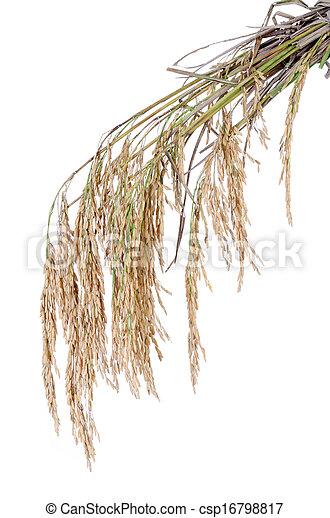 paddy rice on white background - csp16798817