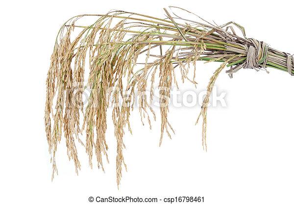 paddy rice on white background - csp16798461