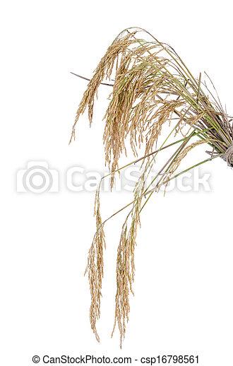 paddy rice on white background - csp16798561