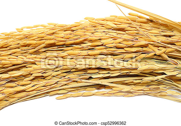 paddy rice on white background. - csp52996362