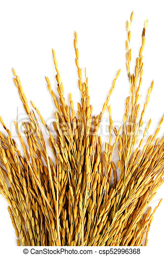 paddy rice on white background. - csp52996368