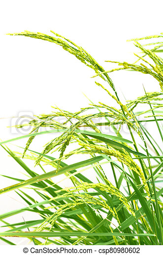 Paddy rice on white background - csp80980602