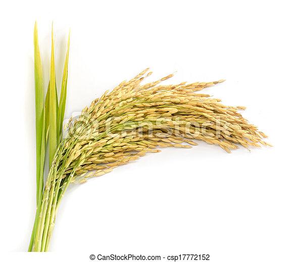paddy rice seed. - csp17772152