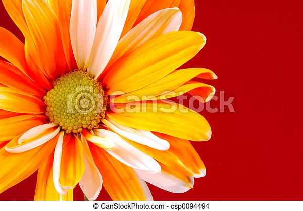 Painted Daisy - csp0094494