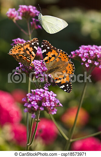 Painted ladies butterflies on Verbena flowers - csp18573971