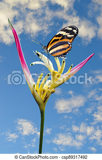 Painted lady butterfly vanessa cardui on a Heliconia psittacorum flower - csp89317492