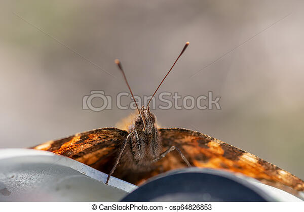 Painted Lady butterfly, Vanessa cardui, close up frontal view o - csp64826853