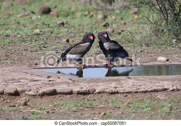 Pair of bateleur standing at a waterhole with courtship - csp50087081