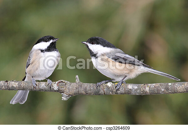 Pair of Birds on a Branch - csp3264609