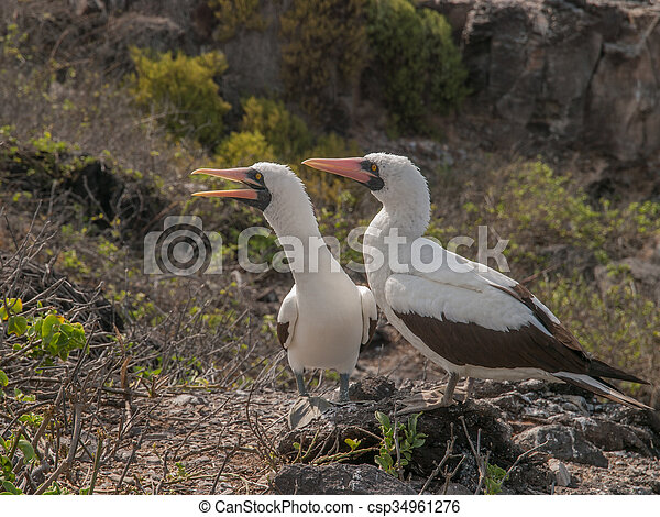 Pair of Blue Footed Boobies - csp34961276