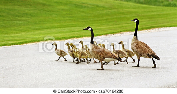 Pair of Canada Geese mates help their gosling brood cross the street - csp70164288