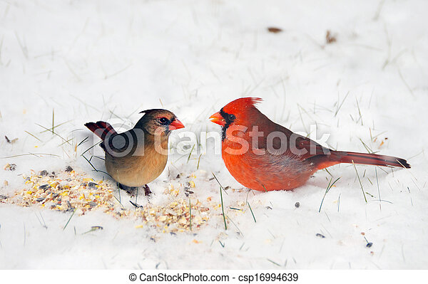 Pair of Cardinals in the snow. - csp16994639