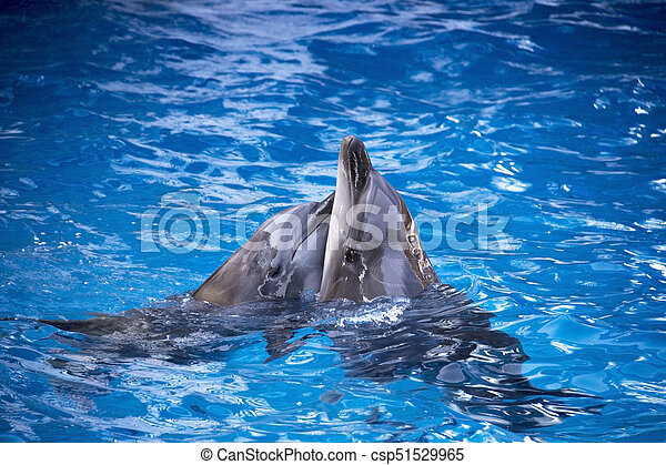 Pair of dolphins swimming in the blue water. - csp51529965