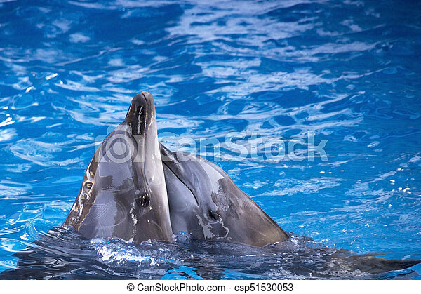Pair of dolphins swimming in the blue water. - csp51530053