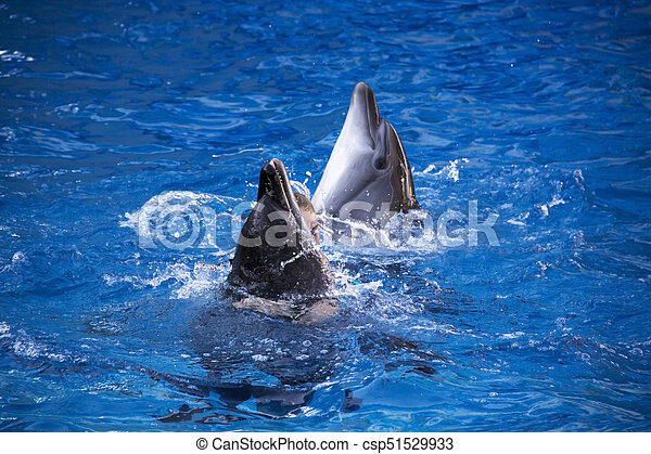 Pair of dolphins swimming in the blue water. - csp51529933