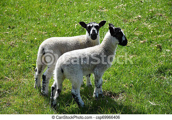 Pair of Mottled Lambs on a Farm in North Yorkshire England - csp69966406