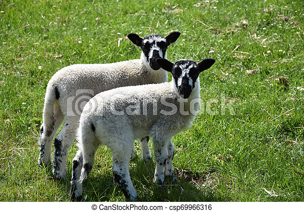 Pair of Twin Speckled Face Lambs in a Grass Field - csp69966316
