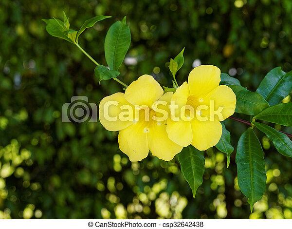 Pair of yellow trumpet flowers pair of yellow trumpet allamanda pair of yellow trumpet flowers csp32642438 mightylinksfo