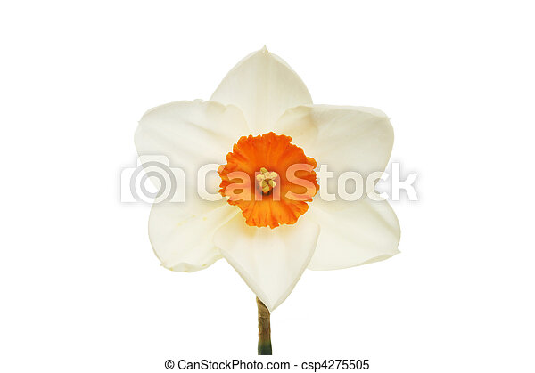 Pale daffodil with orange center - csp4275505