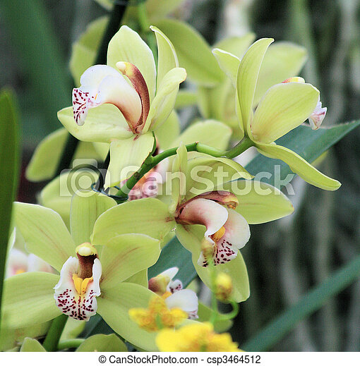 pale green cymbidium orchid pale green cymbidium orchid flower