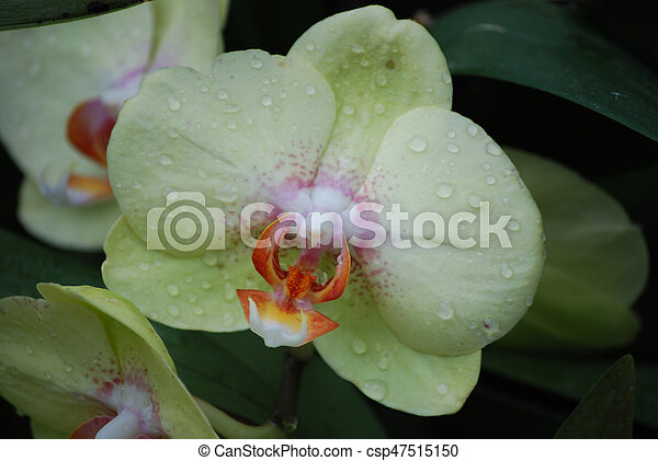 pale green orchid blanketed in dew drops dew drops clinging to the