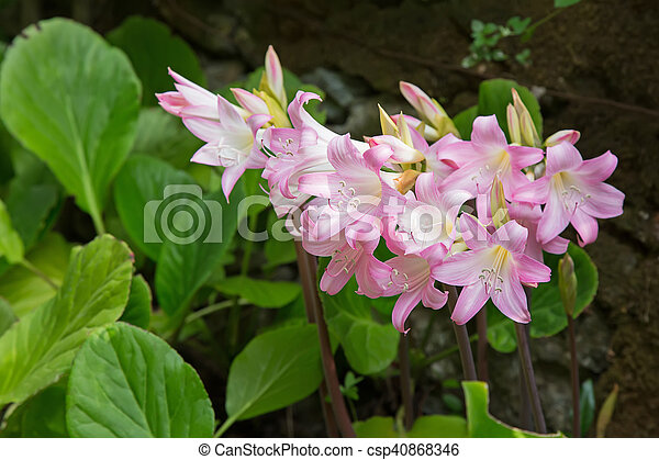 Pale Pink And White Flower Of Belladonna Lily Jersey Lily Naked