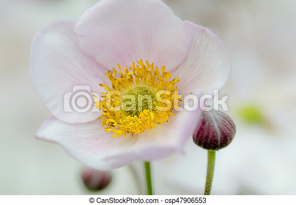 Pale pink flower japanese anemone close up pale pink flower japanese anemone close up csp47906553 mightylinksfo