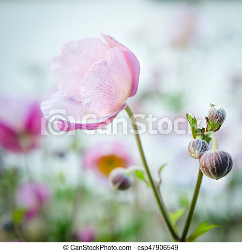 Pale pink flower japanese anemone close up pale pink flower japanese anemone close up csp47906549 mightylinksfo