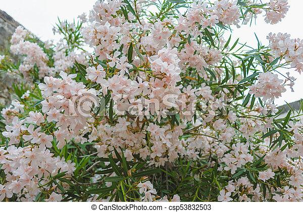 Bush of pale pink oleander blossom pink flowers pale pink oleander csp53832503 mightylinksfo