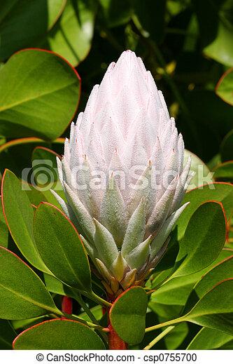Pale Pink Protea Cynaroides - csp0755700