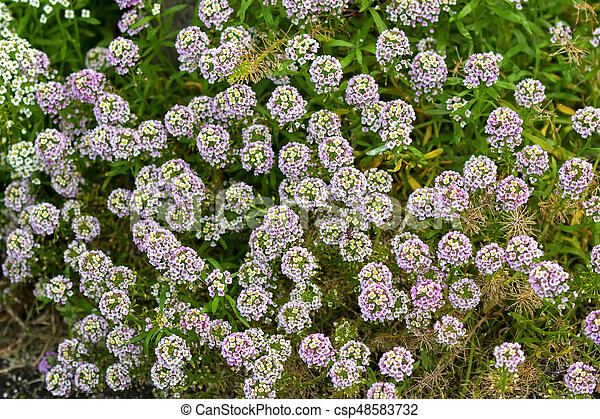 Pale purple and white flowers of alyssum growing in garden in pale purple and white flowers of alyssum growing in garden csp48583732 mightylinksfo