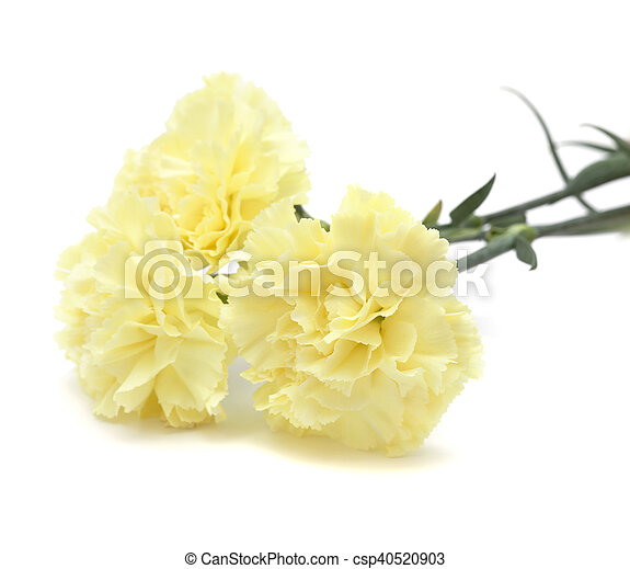 Pale yellow carnation flowers isolated on white background pale yellow carnation flowers isolated csp40520903 mightylinksfo