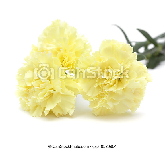Pale yellow carnation flowers isolated on white background pale yellow carnation flowers isolated csp40520904 mightylinksfo