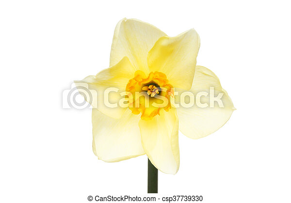 Pale yellow Daffodil - csp37739330
