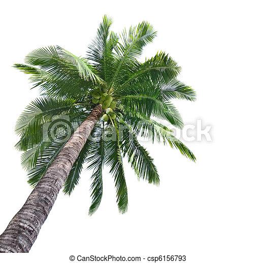 Palm Coconut Tree - csp6156793