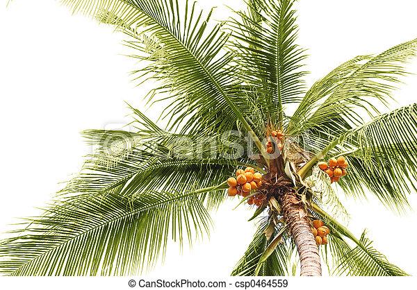 Palm coconuts - csp0464559