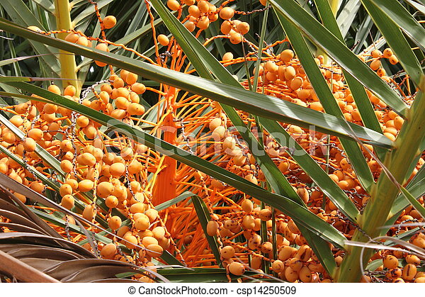 Palm dates - csp14250509