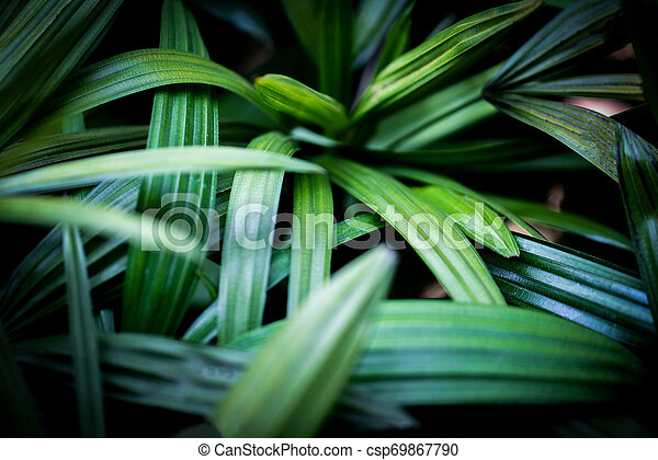 Palm Leaves Tropical Plant Close Up Green Leaf In The Jungle Foliage Dark Background Green palm leaf (livistona rotundifolia palm tree) close up isolated on white background. can stock photo