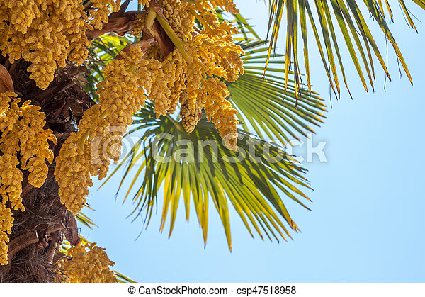 Palm tree blooming yellow flowers against blue sky palm stock palm tree blooming yellow flowers against blue sky csp47518958 mightylinksfo Gallery