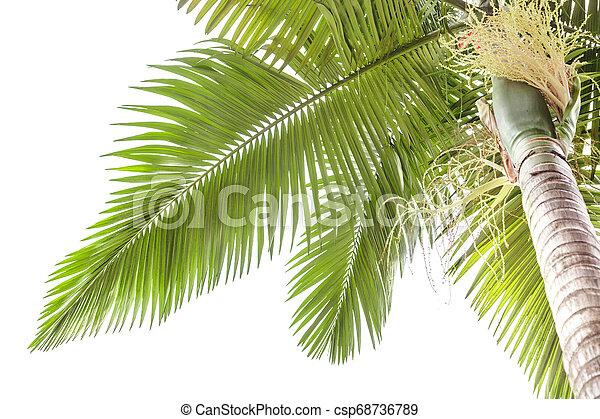 Palm tree isolated on white background - csp68736789