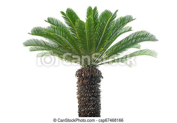 Palm tree isolated on white background - csp67468166