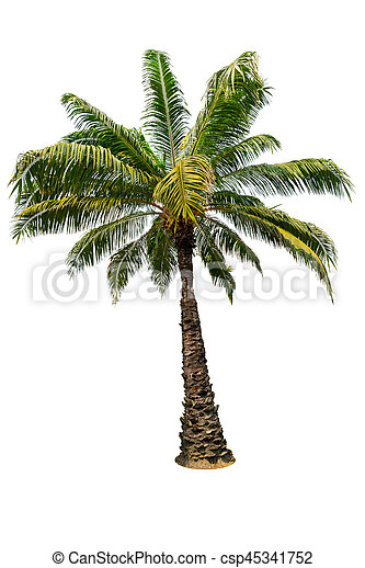 Palm tree isolated on white background - csp45341752