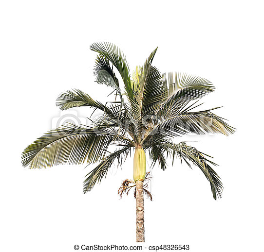 palm tree isolated on white background - csp48326543