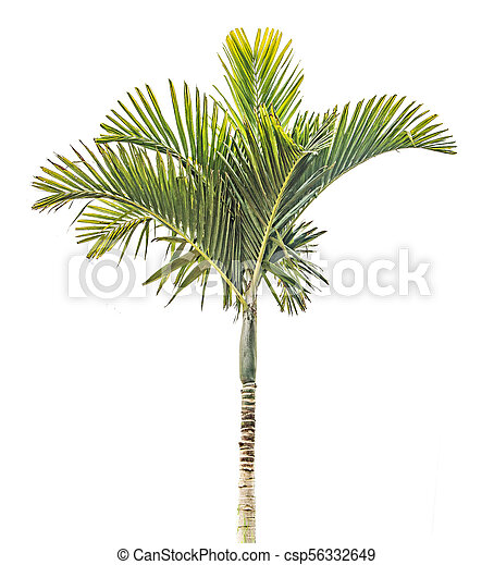 Palm tree isolated on white background - csp56332649