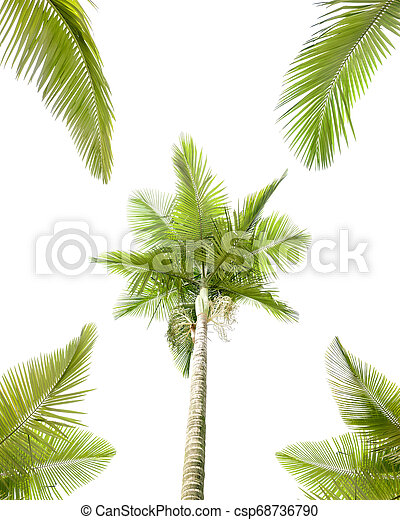 Palm tree isolated on white background - csp68736790