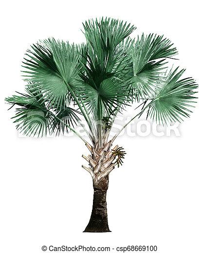 palm tree isolated on white background. - csp68669100