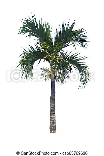 palm tree isolated on white background - csp65769636