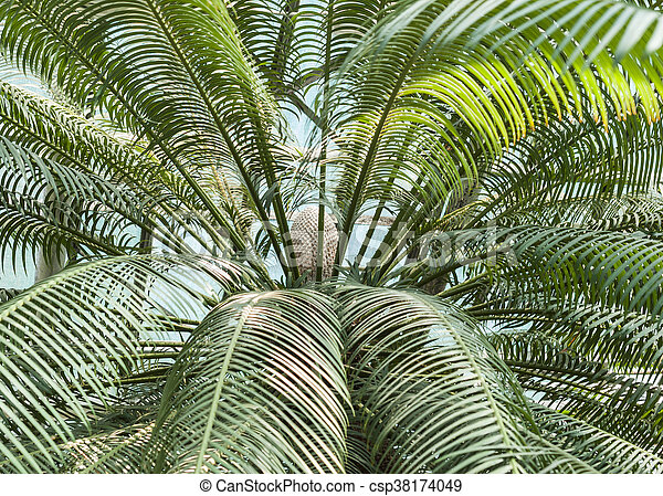 palm tree with the fruit - csp38174049