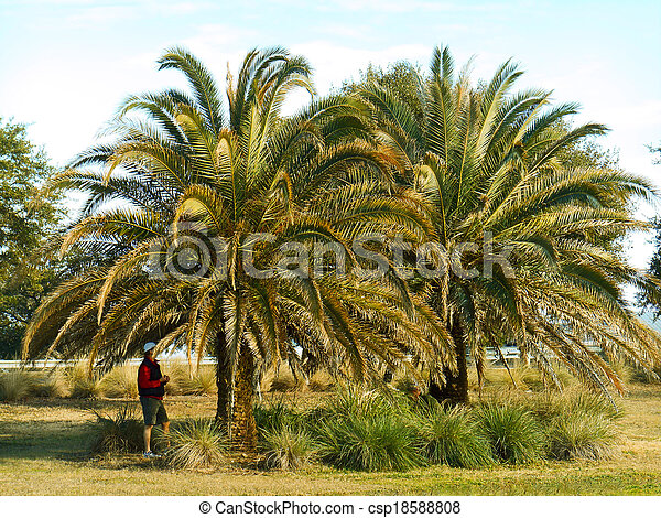 Palm trees in winter in northern Florida. - csp18588808