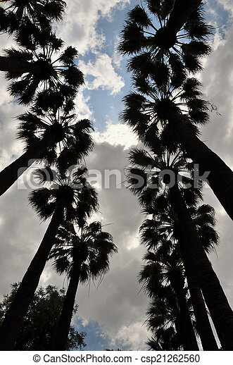 palm trees silhouette - csp21262560